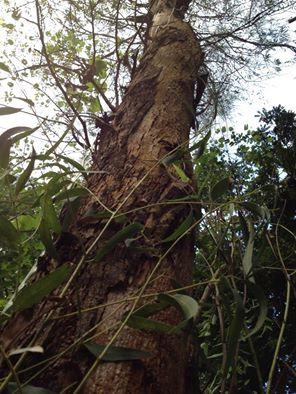 Eucalipto ou Árvore-da-goma