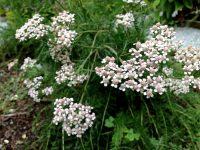 Mil-folhas, Erva-do-guerreiro ou Novalgina