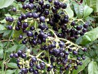 Insulina vegetal, Cortina Japonesa ou Uva do Mato