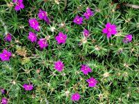 Amor-crescido ou Flor da Melodia