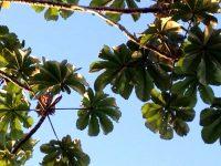 Embaúba, Umbaúba ou Árvore do Bicho Preguiça