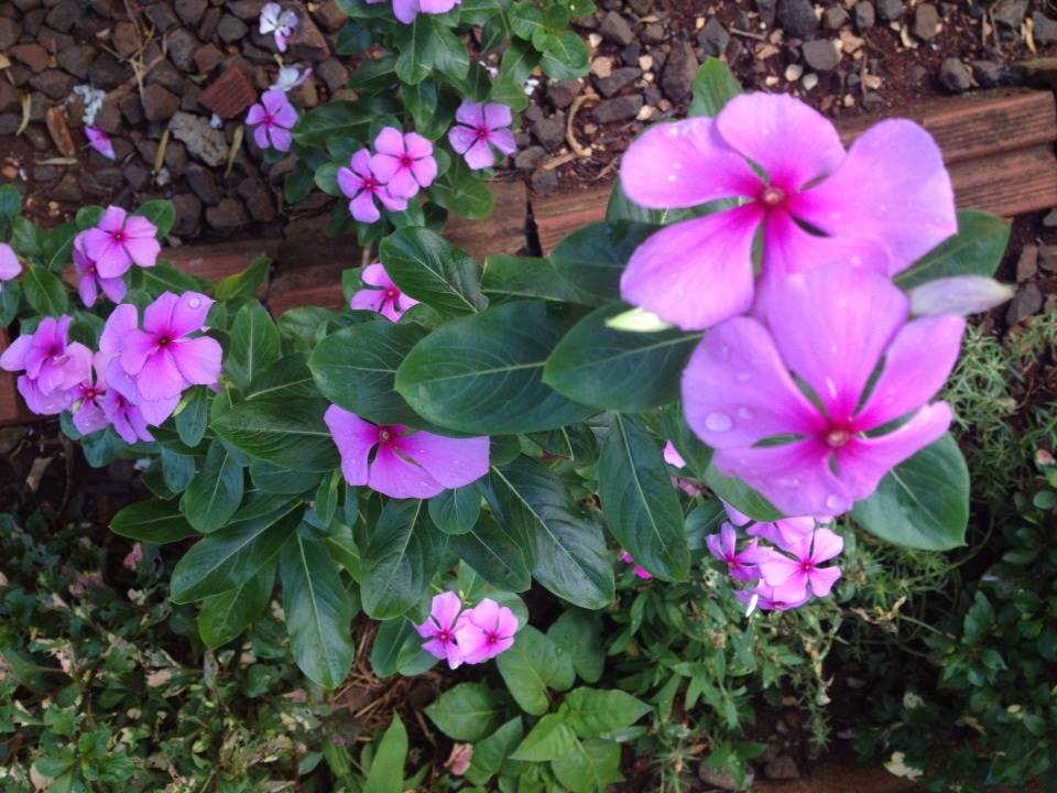 You are currently viewing Vinca