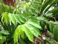 Erva-de-bugre, Erva-de-lagarto ou Guaçatonga