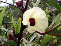 Hibisco, Groselha ou Rosélia
