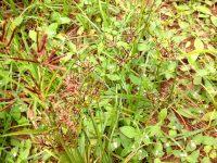 Tiririca ou Cebolinha-de-jardim