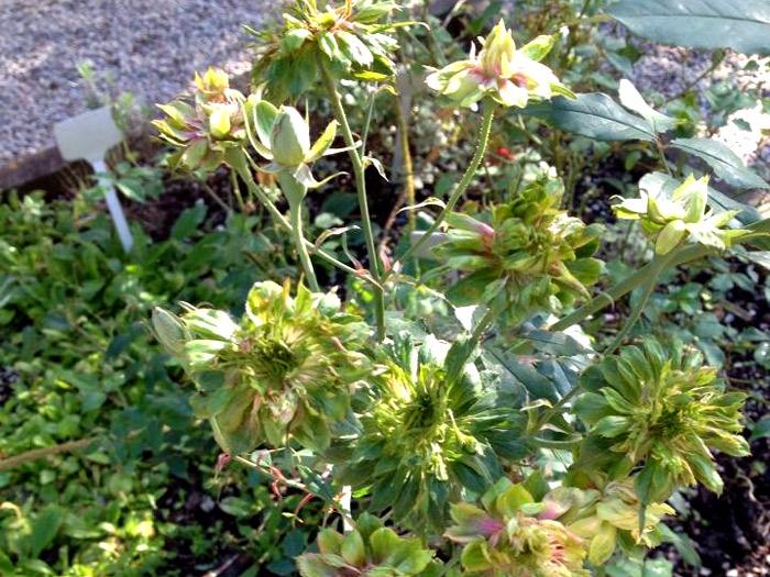 Rosa Verde ou Green Rose