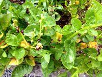 Bertalha ou Espinafre europeu