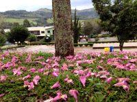 Ipê-roxo, Ipê-rosa ou Lapachol