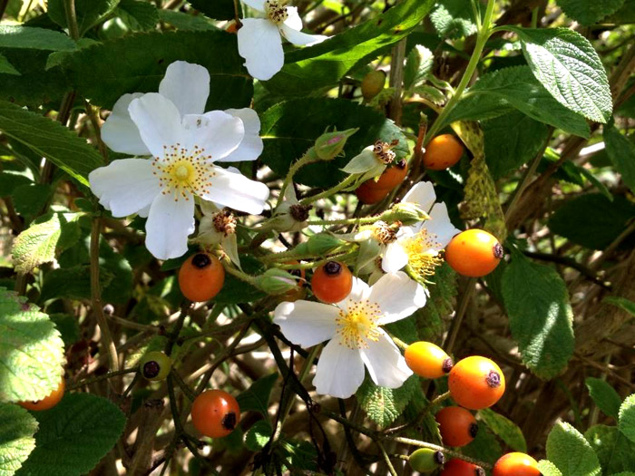 You are currently viewing Rosa canina