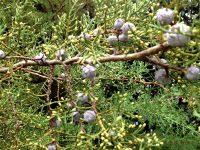 Árvore-da-vida ou Tuia