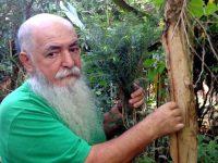 Melaleuca, Árvore-do-té
