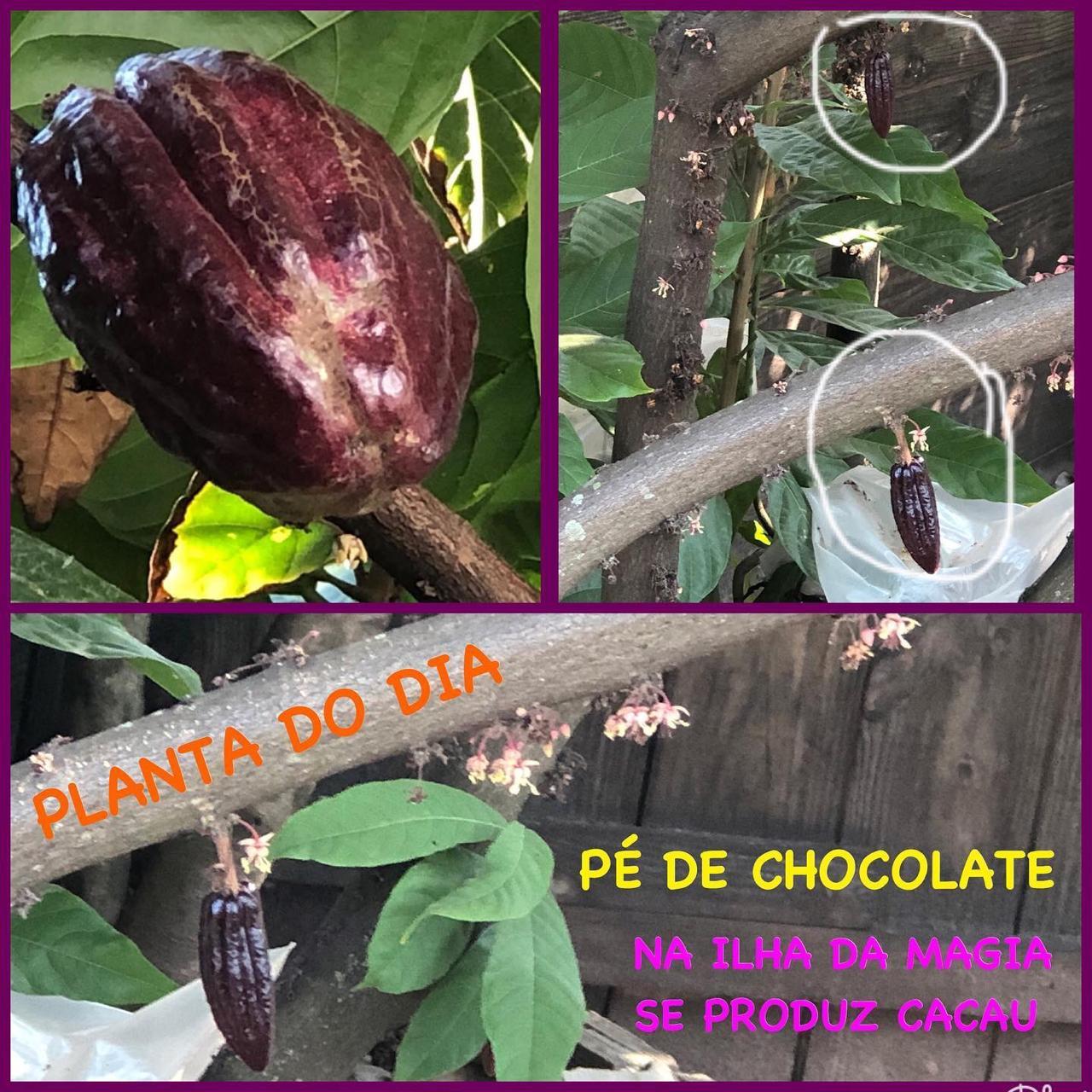 Pé de chocolate