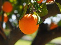 Laranja amarga ou laranja de sevilha